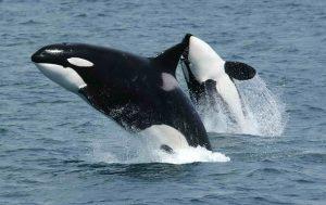 Ученые нашли новый вид китов-убийц